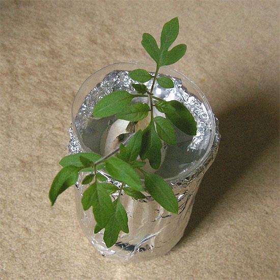 komatsuna-tomato-honba-2