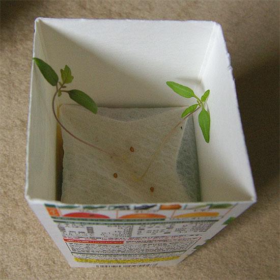 komatsuna-tomato-honba-3