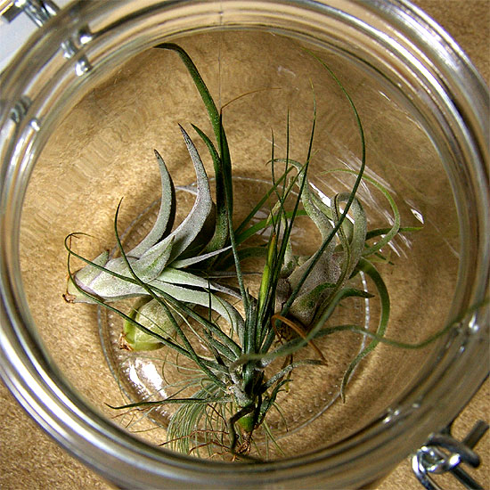 daiso-airplants-1
