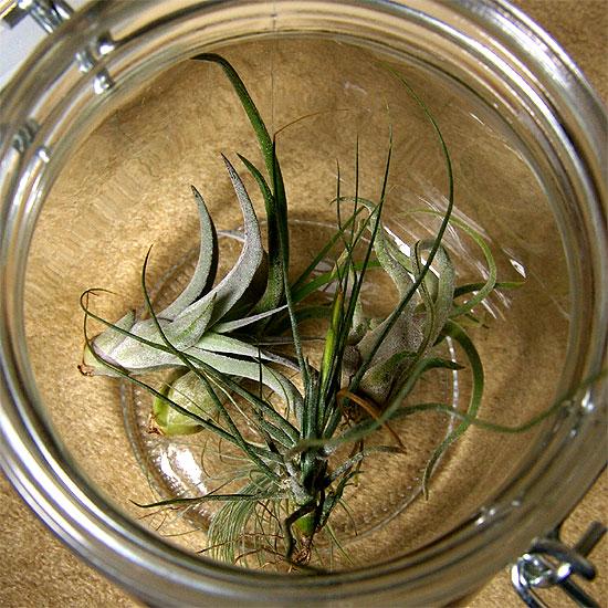 daiso-airplants-1