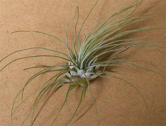 daiso-airplants-5