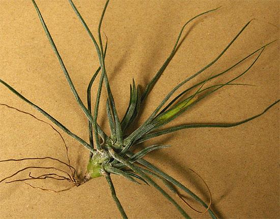 daiso-airplants-6