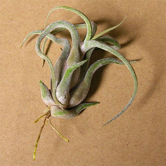 daiso-airplants-8