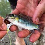 空き缶のプルタブで自作した釣り針でも魚を釣ることができる