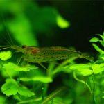 ヤマトヌマエビの寿命と長生きした熱帯魚たち