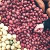 【芋エネルギー】サツマイモやジャガイモを空中栽培で育て芋発電する研究