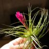 ダイソーの100均エアープランツ (チランジア) 優良株をお迎えしたら約2ヶ月で開花