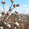 ユニクロや無印良品が新疆綿 (しんきょうめん) を猛プッシュする理由は何なのか?