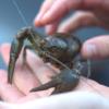 ザリガニが特定外来生物に指定され飼育禁止!アメリカザリガニは規制対象外なのでマニ